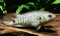 Climbing Perch (Anabas Testudineus)