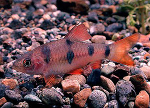 Clown Barb (Barbus Everetti)