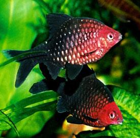 Nigger Barb or Black Ruby (Barbus Nigrofasciatus)
