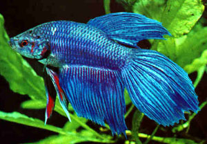 Siamese Fighter (Betta Splendens)