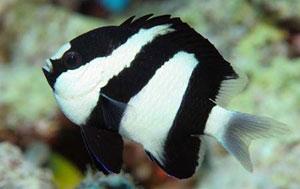 Black And White Damsel Fish (Dascyllus Aruanus)