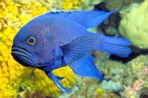 Blue Devil Fish (Pomacentrus Fuscus)