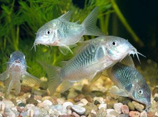 Bronze Catfish (Corydoras Aeneus)
