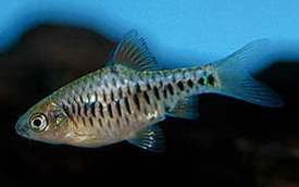 Checker Barb (Barbus Oligolepis)