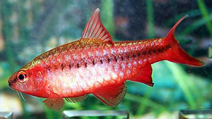 Cherry Barb (Barbus Titteya)