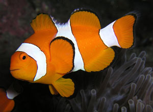 Clownfish (Amphiprion Percula)