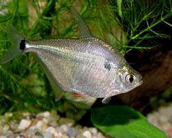 Silver Tetra (Ctenobrycon Spilurus)