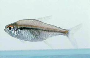 Flag Tetra (Hyphessobrycon Heterorhabdus)