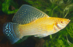 Giant Sailfin Molly (Poecilia Velifera)