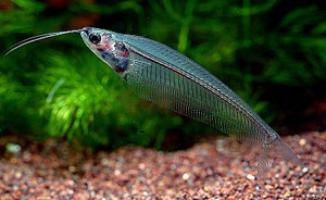 Glass Catfish (Kryptopterus Bicirrhus)