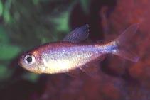 Dawn Tetra (Hyphessobrycon Eos)