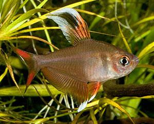 Rosy Tetra (Hyphessobrycon Rosaceus)