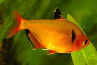 Hyphessobrycon Serpae