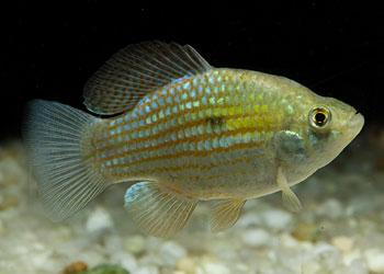 Flag Fish (Jordanella Floridae)