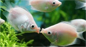 Kissing Gourami (Helostoma Temmincki)