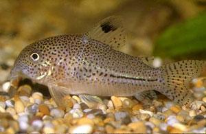 Leopard Catfish (Corydoras Julii)