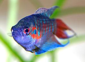 Paradise Fish (Macropodus Opercularis)