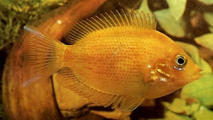 Orange Chromide (Etroplus Maculatus)