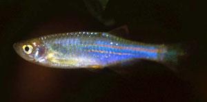 Pearl Danio (Brachydanio Abolineatus)