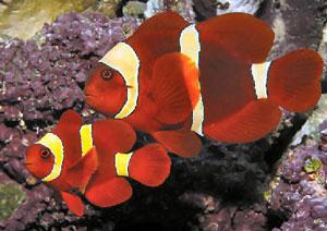 Velvet Coral Fish (Premnas Biaculeatus)