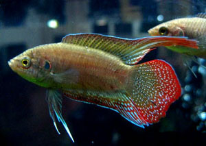 Round-Tailed Paradise Fish (Macropodus Chinensis)