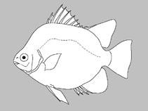 Selenotoca Papuensis