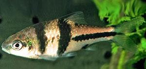 Spanner Barb (Barbus Lateristriga)