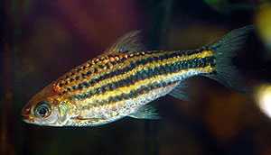 Striped Barb (Barbus Fasciatus)