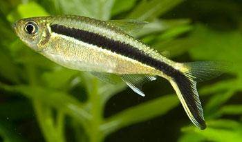 Penguin Fish (Thayeria Obliqua)