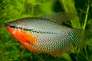 Lace or Pearl Gourami (Trichogaster Leeri)