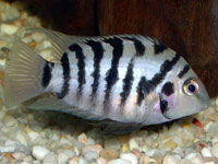 Zebra Cichlid (Cichlasoma Nigrofasciatum)