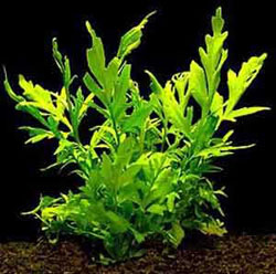 Ceratopteris Pteroides (Water Fern)